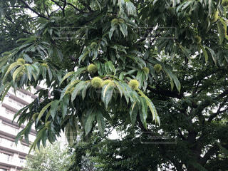 自然,樹木,秋 栗 クリ,桃栗