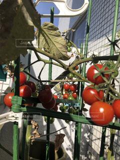 秋だけどトマトの写真・画像素材[4937194]