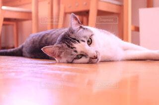 猫,動物,屋内,白,かわいい,景色,寝転ぶ,子猫,グレー,髭,ネコ科,おしゃれ