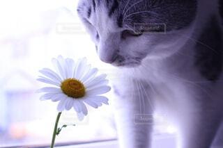 猫,自然,花,動物,屋内,白,マーガレット,きれい,ねこ,ネコ,おしゃれ