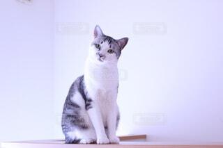 猫,動物,屋内,白,かわいい,ねこ,座る,ネコ,おしゃれ,探す