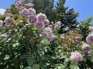 花,屋外,バラ,薔薇,樹木,草木,ガーデン