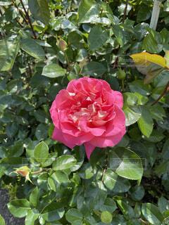 花,屋外,赤,バラ,花びら,薔薇,草木,フロリバンダ,ハイブリッドティーローズ,常緑のバラ