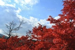 自然,空,花,紅葉,屋外,赤,雲,葉,草,草木,カエデ,フローラ
