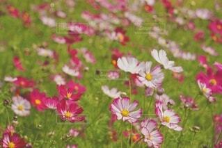 花,秋,屋外,コスモス,綺麗,花びら,優しい,ピクニック,風,秋の花,草木,多色,ゆれる,フローラ