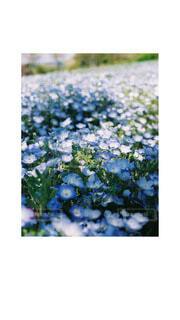 自然,花,春,花畑,植物,青,ネモフィラ,フィルムカメラ