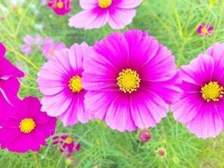 花,秋,コスモス,草,草木