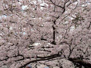 花,春,屋外,岩,桜の花,さくら,ブロッサム