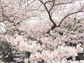 花,春,屋外,樹木,草木,さくら,ブルーム,ブロッサム