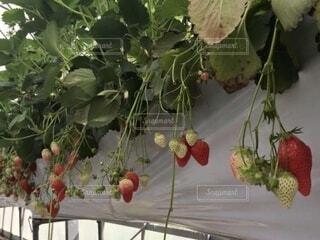 食べ物,屋内,赤,苺,果物,いちご狩り,レジャー