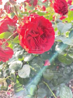 花,太陽,バラ,景色,花びら,光,薔薇,草木