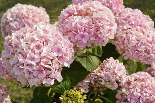 花,紫陽花,草木,アジサイ,ブルーム,フローラ