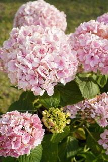 花,あじさい,紫陽花,草木,ブルーム,ブロッサム
