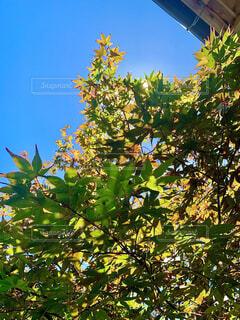 風景,夏,屋外,植物,青空,葉,草木,カエデ