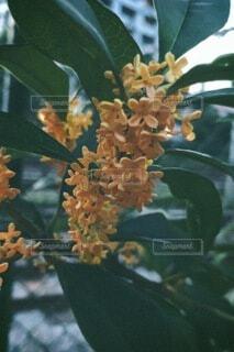 花,フィルム,雰囲気,金木犀,草木,香り,フローラ