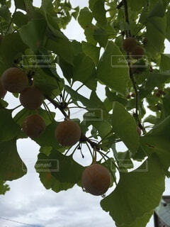 食べ物,屋外,葉,樹木,銀杏,日陰,草木,果樹