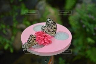 蜜を吸うチョウチョウの写真・画像素材[4938580]