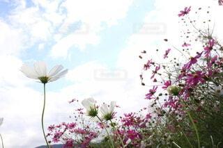 秋桜の写真・画像素材[4910782]