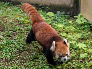 動物,屋外,草,レッサーパンダ,レッサー パンダ