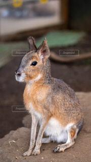 動物,リス,地面,マーラ,子鹿,ウサギ,Mara