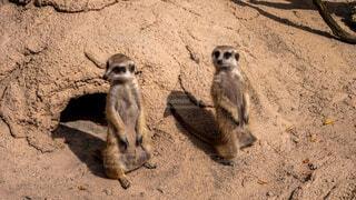 犬,動物,屋外,砂,砂漠,地面,動物園,ミーアキャット,マングース
