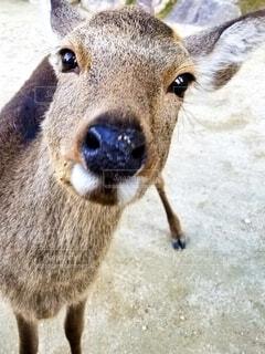 動物,野生動物,屋外,かわいい,茶色,立つ,鹿,地面,クローズアップ,正面顔,鼻面