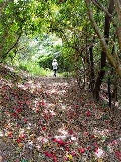 椿の花の登山道を歩く人の写真・画像素材[4923923]