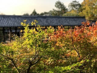 自然,風景,空,花,秋,夕日,紅葉,屋外,京都,夕暮れ,散歩,もみじ,夕方,景色,観光,樹木,旅行,寺院,歴史,建築,観光名所,東福寺,日本文化