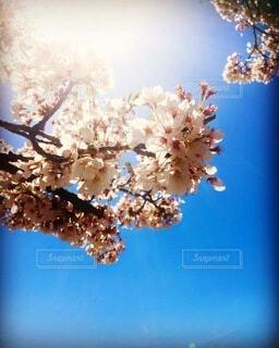 空,花,春,青い空,樹木,桜の花,さくら,ブロッサム