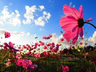 空,花,屋外,雲,秋桜,秋空,草木