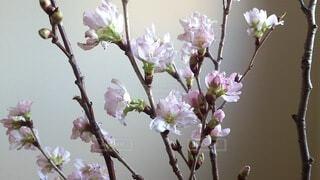 花,春,屋内,ピンク,花束,壁,草木,桜の花,さくら,ブルーム,ブロッサム