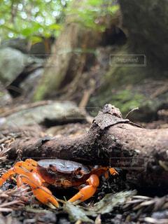 自然,動物,屋外,山,樹木,岩,カニ,爬虫類