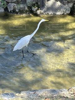 動物,鳥,屋外,湖,水面,海岸,池,岩,立つ,水鳥,コサギ