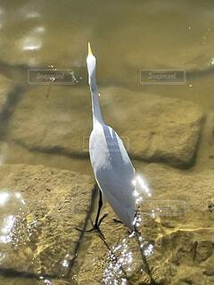 動物,鳥,屋外,湖,水面,海岸,池,立つ,水鳥,コサギ