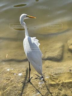 動物,鳥,屋外,湖,水面,海岸,池,立つ,地面,水鳥,コサギ,水の鳥