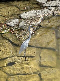 動物,鳥,屋外,湖,水面,海岸,池,岩,立つ,地面,水鳥,コサギ