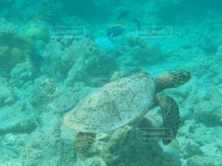 自然,モルディブ,魚,海外,サンゴ,青,水面,泳ぐ,旅行,カメ,リゾート,ウミガメ,sea,海外旅行,ダイビング,珊瑚礁,シュノーケリング,亀,かめ,遊泳,うみがめ,モルディヴ,クリアブルー,シュノーケ リング