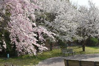 自然,公園,桜,ピンク,綺麗,さくら
