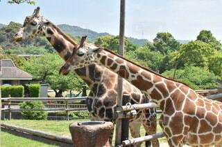 動物,かわいい,可愛い,キリン,動物園,麒麟,きりん,キリン科,陸生動物