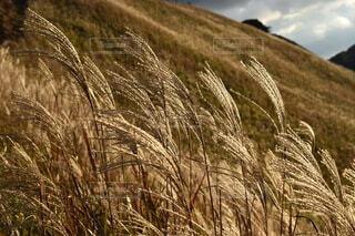 自然,風景,空,屋外,景色,草,ススキ,ゴールド,すすき