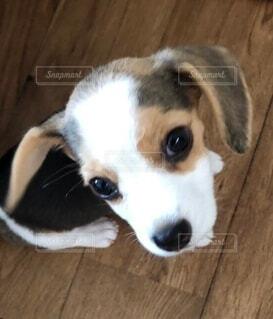 子犬,ビーグル,愛犬,甘えん坊,眼差し