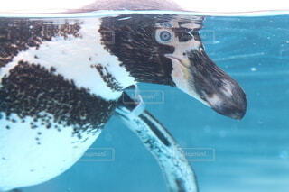 泳ぐペンギンの横顔の写真・画像素材[4915047]