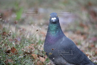 公園の鳩の写真・画像素材[4915081]