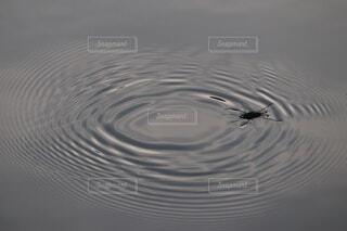 水,水面,池,泳ぐ,波紋,昆虫,アメンボ,水生昆虫