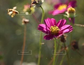 自然,花,秋,屋外,ピンク,植物,コスモス,花びら,昆虫,ミツバチ,ハチ,クローズアップ,草木,日中,花粉,フローラ