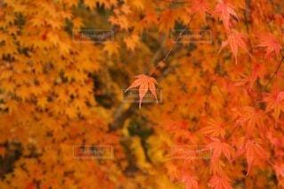 秋の風景~朱色映える紅葉の写真・画像素材[4917189]