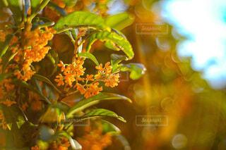 花,秋,葉,木漏れ日,夕陽,金木犀,草木,キンモクセイ,いい香り
