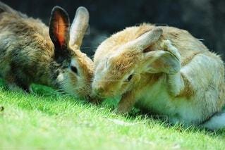 芝生の上でのんびりするウサギの写真・画像素材[4920477]