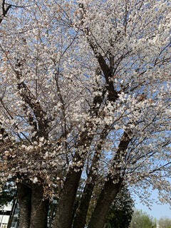 花,春,桜,屋外,樹木,草木,ブロッサム
