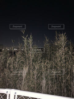 自然,空,冬,夜景,屋外,樹木,ススキ